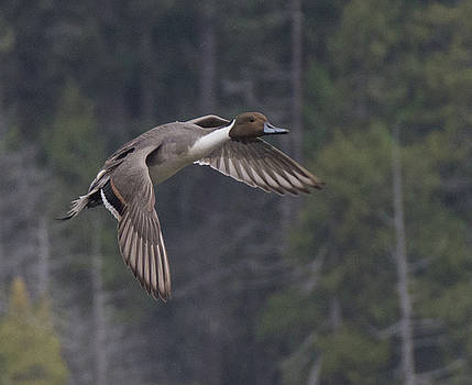 Northern Pintail Duck by Marilyn Wilson