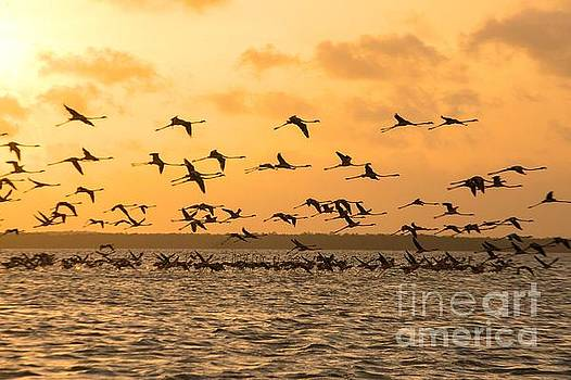 Patricia Hofmeester - Flying flamingoes at sunset