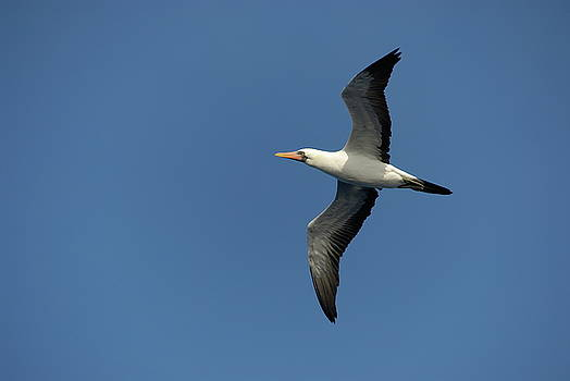 Sami Sarkis - Flying Masked booby in flight