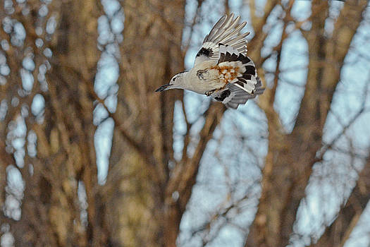 Flying Nuthatch by Asbed Iskedjian