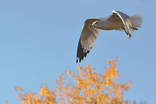 Flying over autumn leaves by Asbed Iskedjian