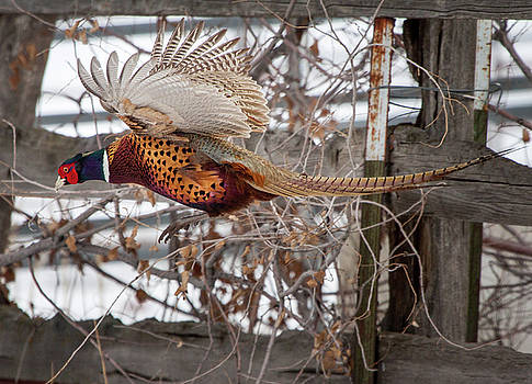Flying Pheasant by Wesley Aston