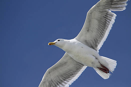 Peggy Collins - Flying Seagull Against a Summer Sky