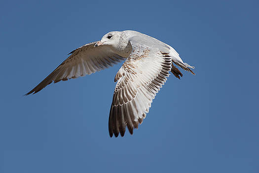 Flying Seagull by John Pavolich