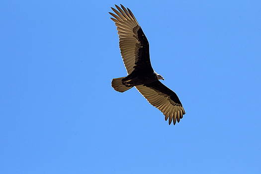 Flying Vale Vulture in Mesa Verde National Park, USA by Ronald Jansen