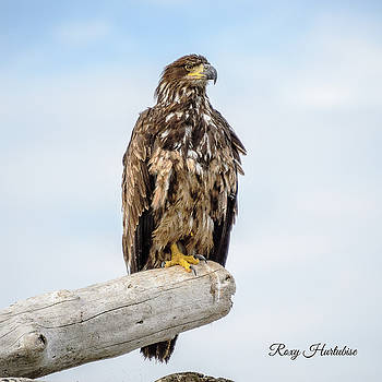 Focused Eagle by Roxy Hurtubise