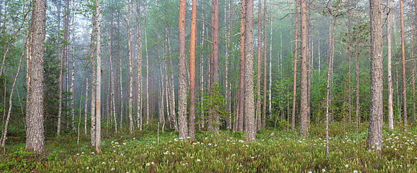 Fog in forest at dawn by Juhani Viitanen