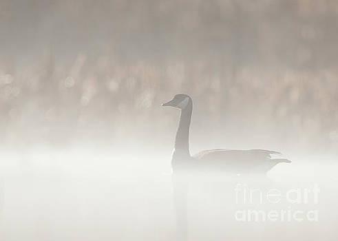 Foggy Canadian Goose by Joshua Clark