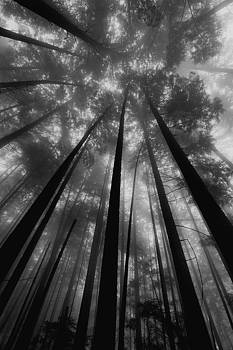 Foggy Trees 1 by Colin Sands