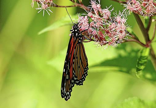 Debbie Oppermann - Folded Monarch