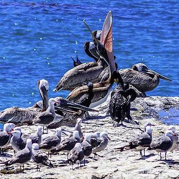 Pelicans on a Rock by Randy Bayne