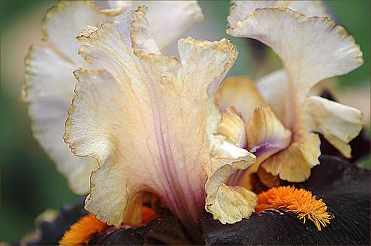 Foreign Legion Iris by Patricia Whitaker
