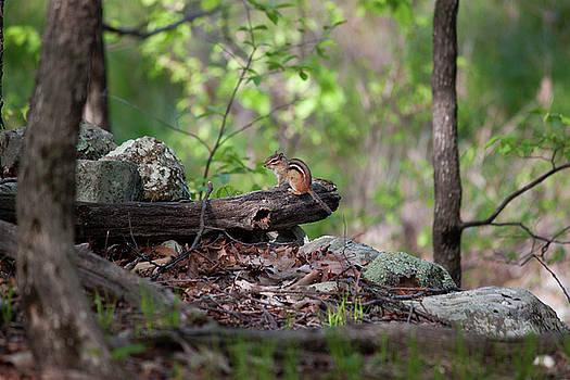 Forest Chipmunk by Jeff Severson