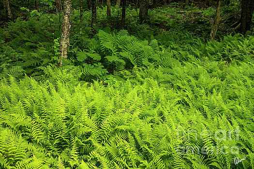 Forest Floor Covered in Ferns by Alana Ranney