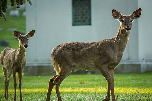 Chris Bordeleau - Forest Lawn Spring Yearling and mother White-Tailed deer