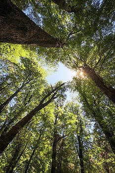 Forest perspective view looking up with a sun star by Daniela Constantinescu