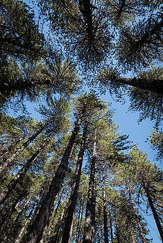 Forest pine trees treetops by Michalakis Ppalis