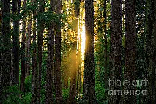 Forest Sunset by Dave Matchett