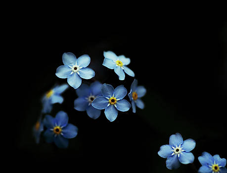 Forget Me Nots on Black by Brooke T Ryan