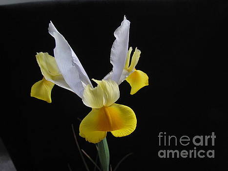 Iris  flower by Joyce Woodhouse
