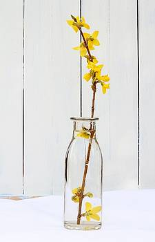 Forsythia 2 by Emma Manners