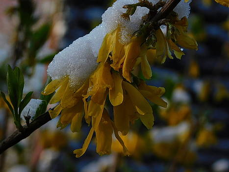 Forsythia in the Snow by Muri McCage