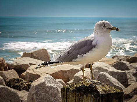 Fort Fisher Seagull by LB Christopher