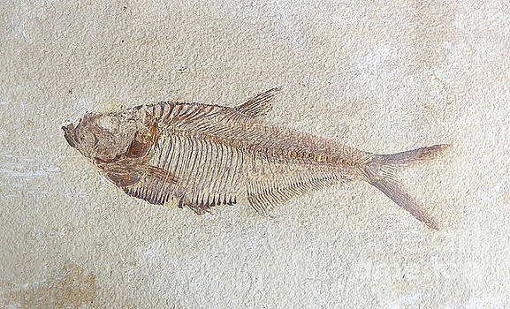 Fossil - Fish by Susan Wall