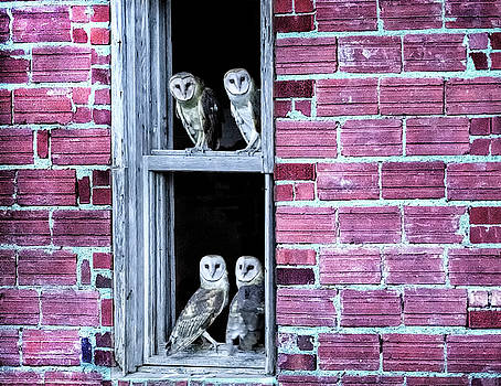 Four Barn Owls in a Window by Donna Caplinger