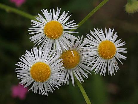 Four Fleabane Flowers by Matt Cormons