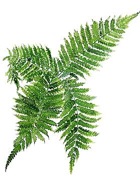 Four way fern by Garima Srivastava