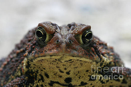 Fowler's Toad #3 by Judy Whitton