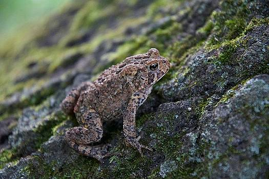 Fowler's Toad by Michael Peychich