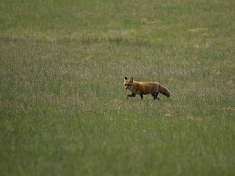 Buddy Scott - Fox in field