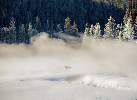 Fox in the Mist // Yellowstone National Park  by Nicholas Parker