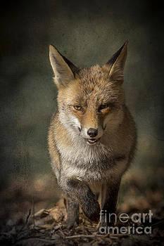 Fox by Ines Leonardo