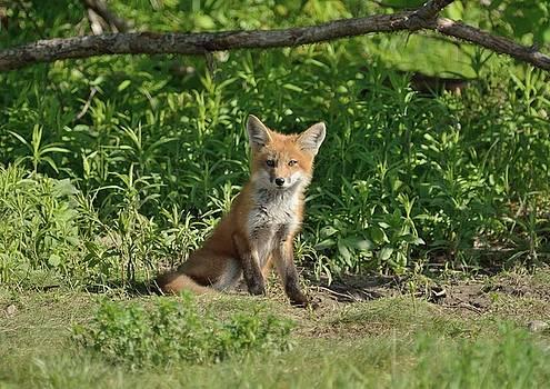 Fox Kit Guarding the Den by David Porteus