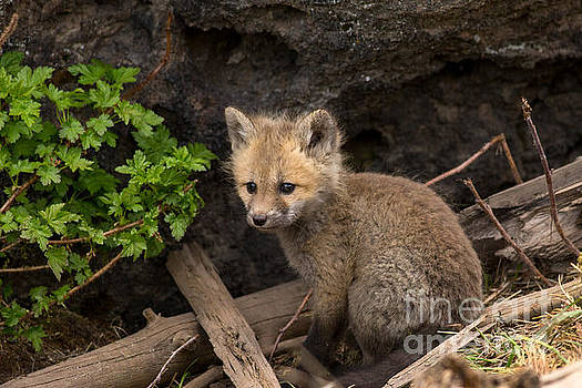 Fox Kit Portrait by Natural Focal Point Photography