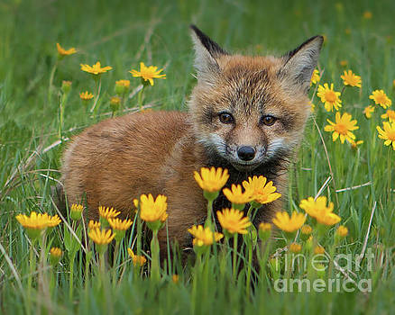 Fox Kit with Yellow Flowers by Jerry Fornarotto
