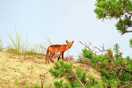 Fox on the Sand Dune by Allan Levin