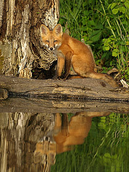 Fox Reflection by James Peterson