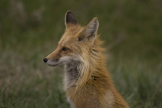Fox by Reva Dow