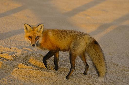 Fox by Richard Suder
