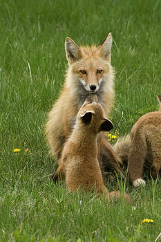 Fox with Kits by Reva Dow