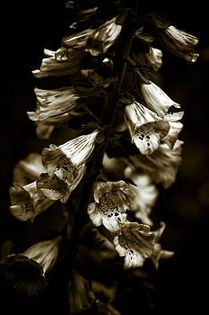 Foxglove Flowers by Frank Tschakert