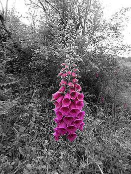 Foxglove Flowers by Mike Shaw