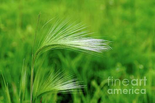 Foxtails Blowing in the Wind by Sandra Updyke