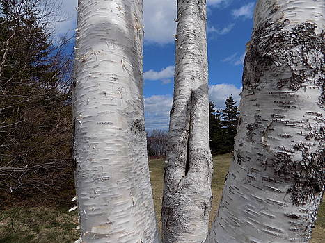 Framed Birches by Peter Smith