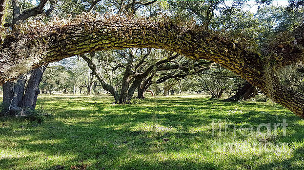 Framed Oaks by Justin Bower