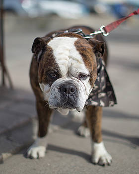 Francesca the English bulldog   by Jakub Sisak
